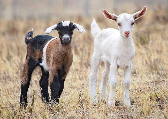 1200px Baby goats jan 2007 crop
