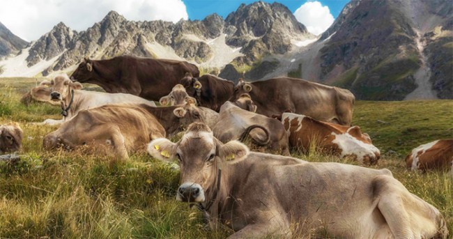mucche prato siesta
