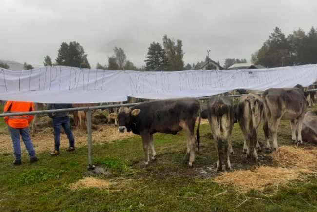 protesta lupi fiera vacche vigezzo